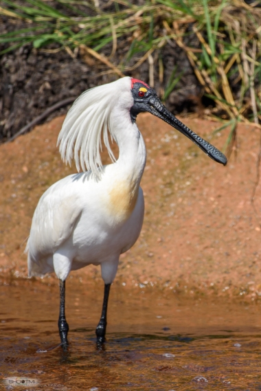 I LOVE spoonbills Thanks Scott Murray, Fogg Dam