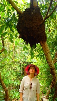 Large termite mound hanging in a tree