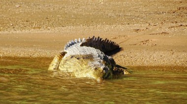 Head on to a large Johnson or Freshwater Crocodile.