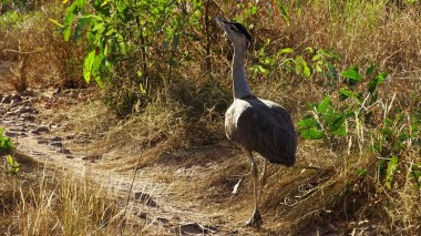 Bustard, a favourite on the menu of Traditional Australians