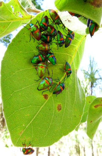 Iridescent Jewel Bugs all crammed into a tiny space in a folded leaf