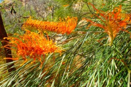 Grevillea flowers. Hardy buggars, they grow in some of the harshest conditions and all seem to have spectacular flowers