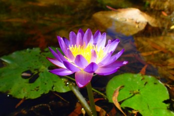 Water lilies are always pretty