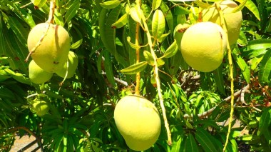Mango madness starts soon