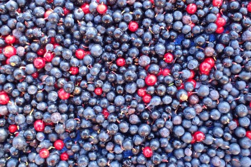 Berry explosion. Litres of them. Truly wonderful